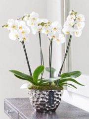 Luxury Phalaenopsis Planter